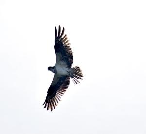 Osprey, bird of prey