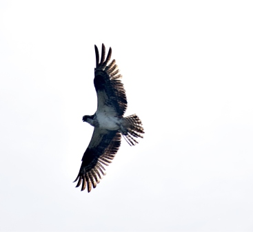 Osprey, bird of prey