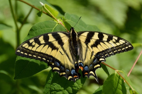 Tiger Swallow Tail
