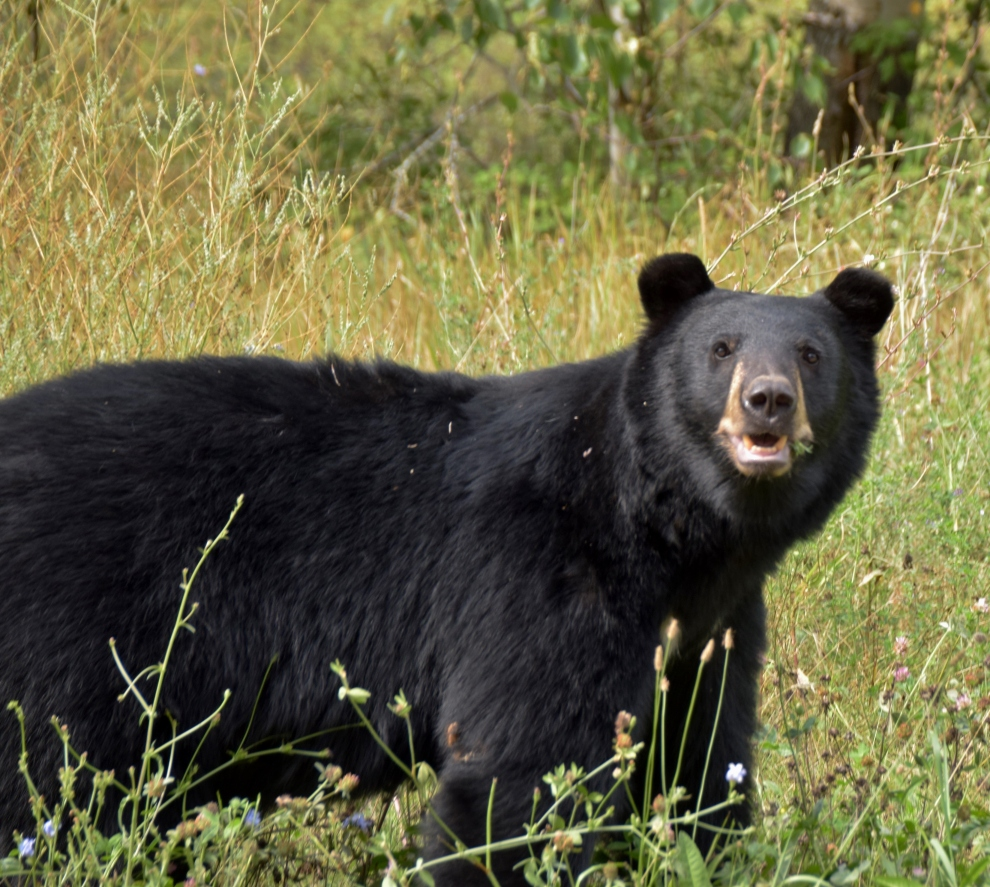 Black bear on route to Sunpeaks, B.C.